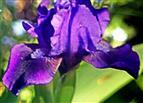 Blüte einer Zwerg-Schwertlilie(Iris pumila(L.))