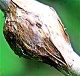 Galle an Himbeertrieb durch Gallmücke Lasioptera rubi