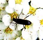 Rotbeiniger Halsbock(Anoplodera rufipes(Schaller 1783))