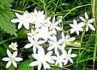 Dolden-Milchstern(Ornithogalum umbellatum(L.))