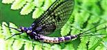 Gemeine Eintagsfliege(Ephemera vulgata(L. 1758))