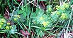 Gemeiner Frauenmantel(Alchemilla vulgaris(L.))