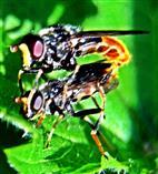 Hundeschnauzen-Schwebfliege(Blera fallax(L. 1758)) in Kopulation