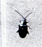 Kohlerdfloh(Phyllotreta nigripes(Fabricius 1775))