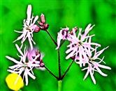 Kuckucks-Lichtnelke(Silene flos-cuculi(L.)Clairv.)