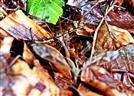 Riesenschnaken(Tipula maxima(Poda 1761)) in Kopulation