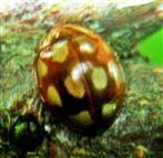 Licht-Marienkäfer(Calvia decemguttata(L. 1767))