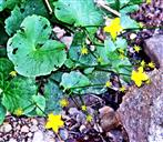 Nahezu verblühte Sumpfdotterblume(Caltha palustris(L.))