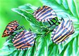 Streifenwanzen(Graphosoma lineatum(L. 1758))