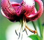 Blüte einer Türkenbund-Lilie(Lilium martagon(L.))