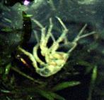 Exuvie(Häutungsrest) eines Gewöhnlichen Flohkrebses(Bammarus pulex(L. 1758))