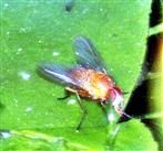 Helle Hausfliege(Phaonia pallida(Fabricius 1787))(männlich)