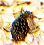 Junger Blauer Antennenwels(Ancistrus dolichopterus(Kner 1854))
