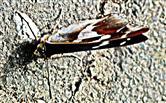 Großer Schillerfalter(Apatura iris(L. 1758))