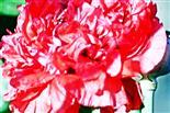 Gefüllte Blüte eines Schlafmohns(Papaver somniferum(L.))