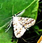 Seerosenzünsler(Elophila nymphaeata(L. 1758))