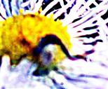 Veränderliche Krabbenspinne(Misumena vatia(Clerck 1757))(männlich)