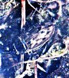 Gemeiner Furchenschwimmer(Acilius sulcatus(L. 1758))