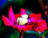 Blüten einer Waldrebe(Clematis(L.) Züchtung z. B. Niobe)