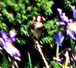Stieglitz(Carduelis carduelis(L. 1758))
