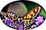 Klee-Gitterspanner(Chiasmia clathrata(L. 1758))