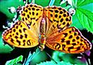 Kaisermantel(Argynnis paphia(L. 1758))(weiblich)