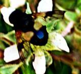 Gemeine Waldschwebfliege(Volucella pellucens(L. 1758))