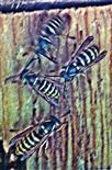 Gemeine Wespen(Vespula vulgaris(L. 1758)) beim Eindringversuch in einen Vogelnistkasten