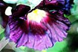 Blüte einer Gewöhnlichen Stockrose(Alcea rosea(L.))