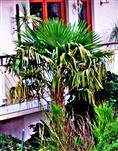 Fächerpalme(Trachycarpus)