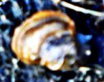 Gehäuse einer Mantelschnecke(Myxas glutinosa(O.F. Müller 1774))