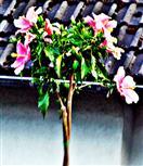 Hibiskus(Hibiscus(L.))