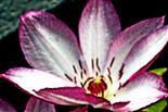 Blüte einer Waldrebe(Clematis(L.))(2)