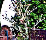 Gewöhnliche Eselsdistel(Onopordum acanthium(L.))