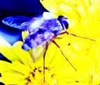 Fliege(Coenosia attenuata(Stein 1903))