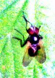 Fliege (Hydrotea ignava)