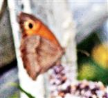 Großes Ochsenauge(Maniola jurtina(L. 1758)) beim Blütenbesuch auf Pfefferminze(Mentha x piperita(L.))