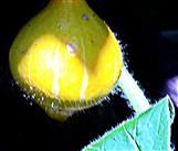 Heranreifender Hokkaido-Kürbis(Cucurbita maxima(Duchnesne Ex Poir.))