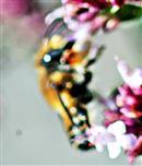 Braune Weiden-Sandbiene(Andrena praecox(Scopoli 1763))