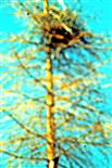 Stehengebliebener Maibaum mit einem Horst