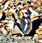 Landkärtchen(Sommergeneration)(Araschnia levana f. prorsa))