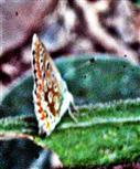 Kronwicken-Bläuling(Plebejus argyrognomon(Bergsträsser 1779))