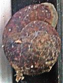 Gehäuse eines Steinpickers(Helicigona lapicida(L. 1758))