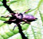 Raubfliege(Gemeiner Strauchdieb(Neoitamus cyanurus(Loew 1849)))