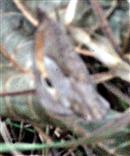 Großes Ochsenauge(Maniola jurtina(L. 1758)) rastend