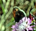 Kleines Wiesenvögelchen bzw. kleiner Heufalter(Coenonympha pamphilus(L. 1758))