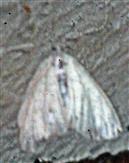 Mohrenzünsler(Sitochroa palealis(Denis & Schiffermüller 1775))
