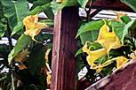 Blüten von Engelstrompeten(Brugmansia(Pers.))