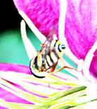 Gemeine Feldschwebfliege(Eupeodes corollae(Fabricius 1794)) an Waldrebe(Clematis)