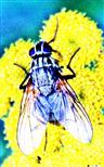 Stubenfliege(Musca domestica(L. 1758)) auf Rainfarn(Tanacetum vulgare(L.))